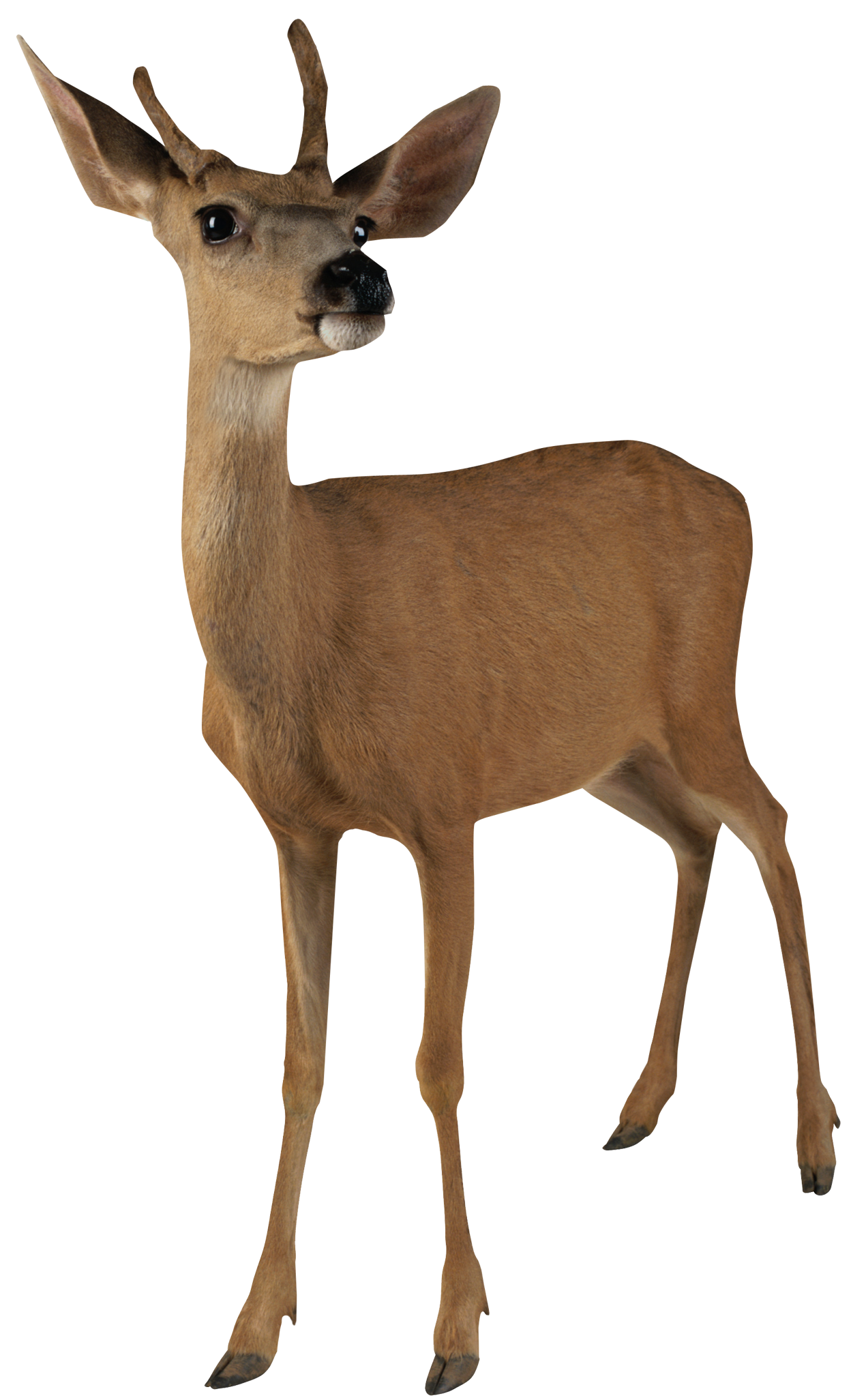 Taking the best pictures. Deer clipart ear