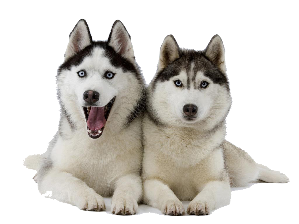 collection of transparent. Husky clipart husky puppy