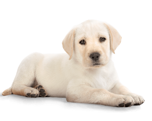 Dog transparent png stickpng. Clipart puppy labrador