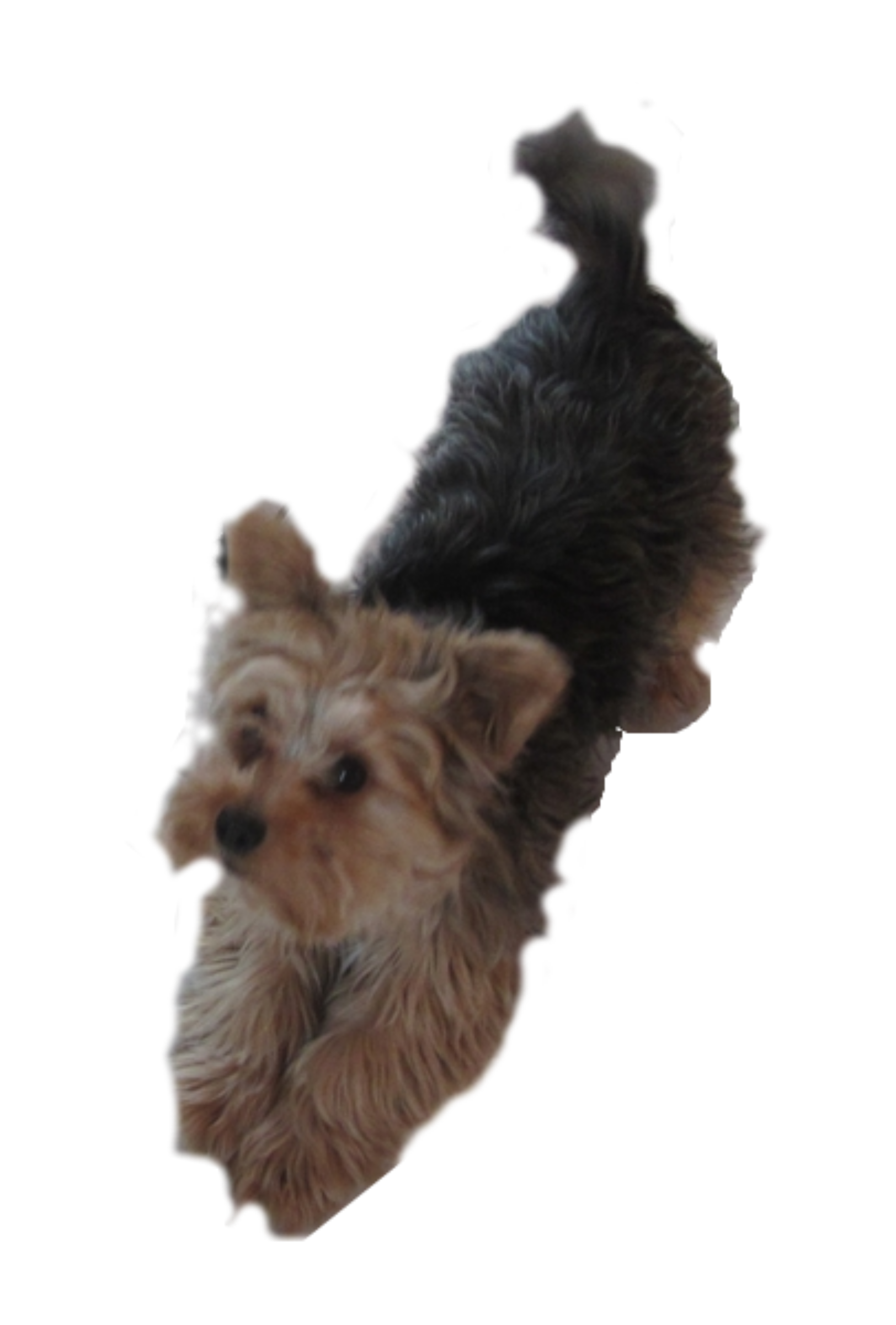 Pleading big image png. Dog clipart yorkie