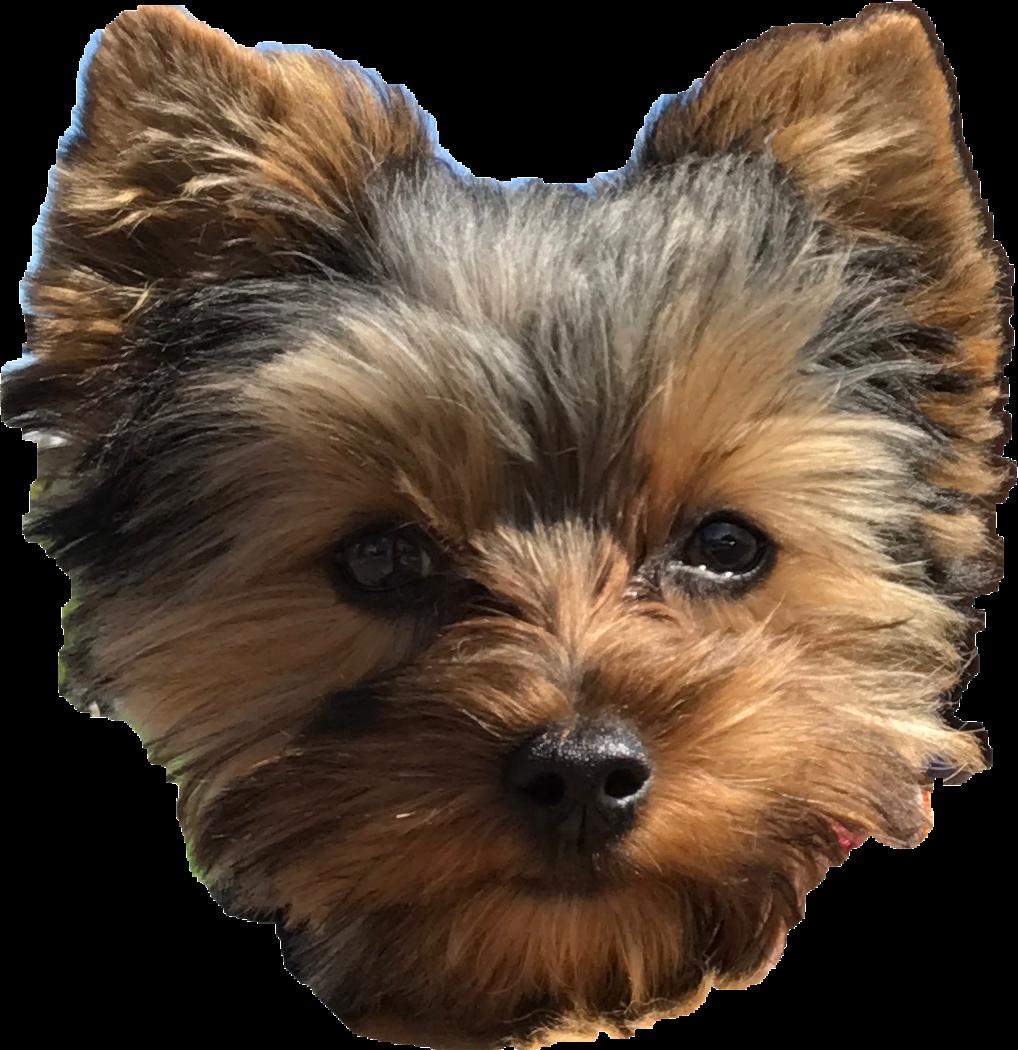 Pepper cute puppy perro. Dog clipart yorkie