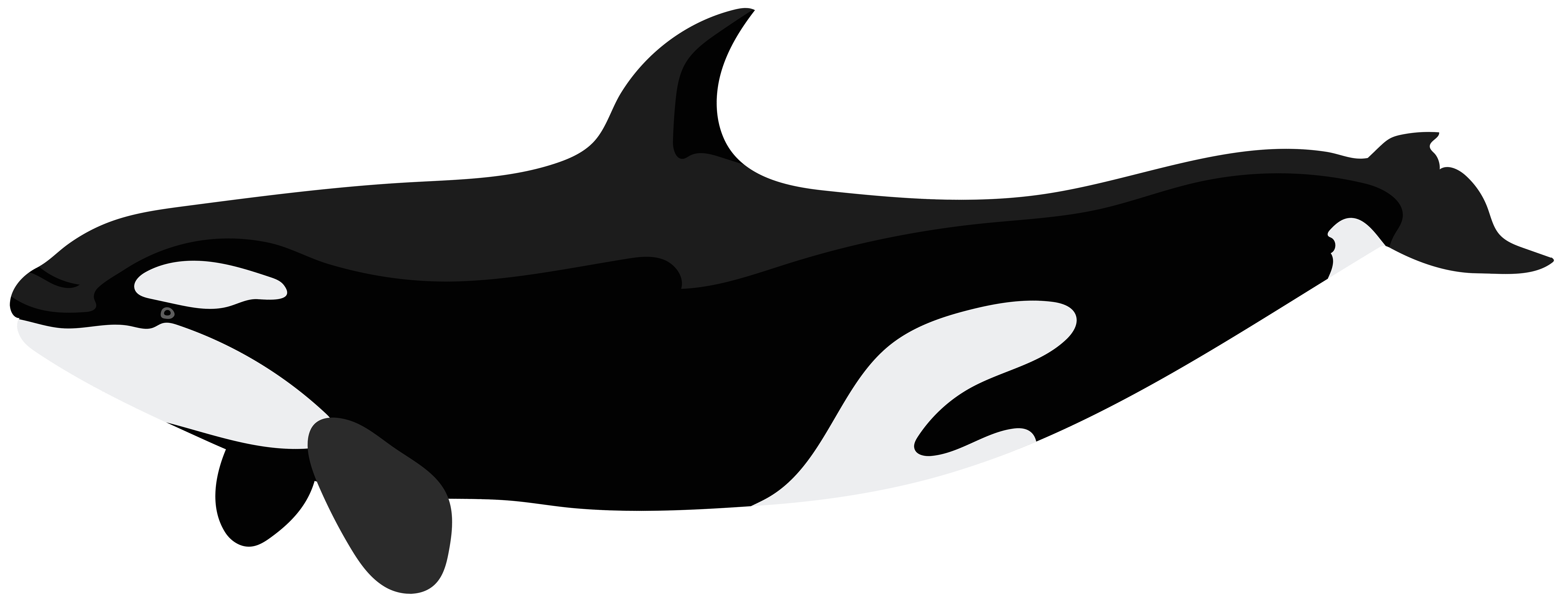 Killer whale clip art. Dolphin clipart underwater