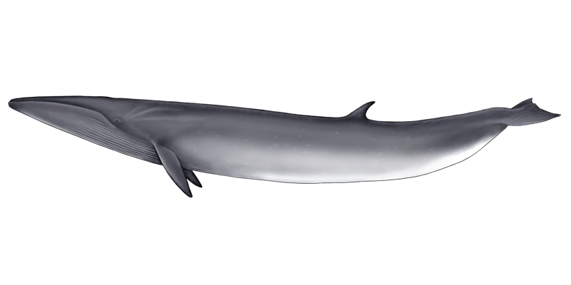 Whale png animal pinterest. Dolphin clipart maui dolphin