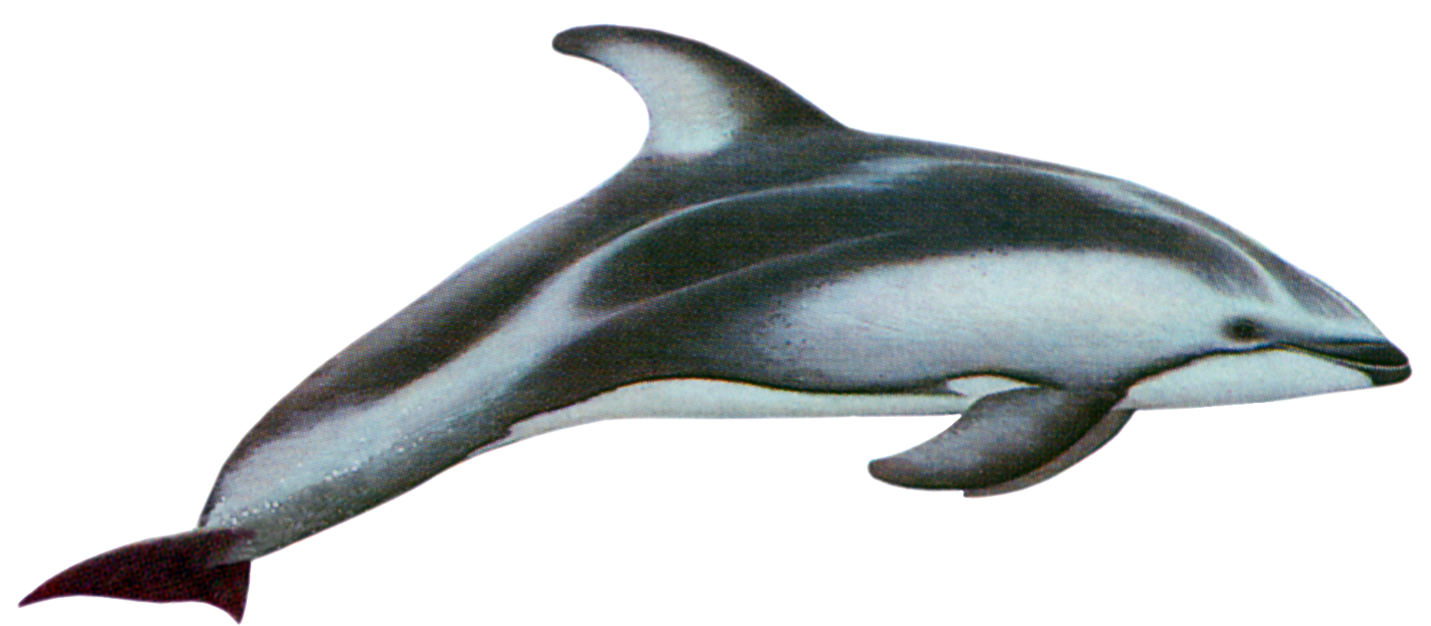 Pacific white sided whitesided. Dolphin clipart two