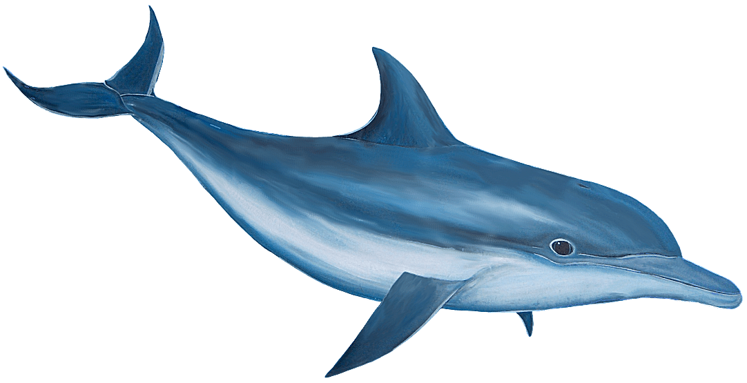 Free transparent png files. Clipart dolphin jpeg