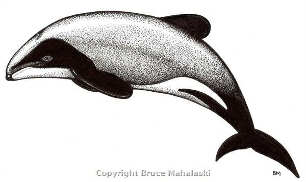 Dolphin clipart maui dolphin. Hector pictures yahoo image