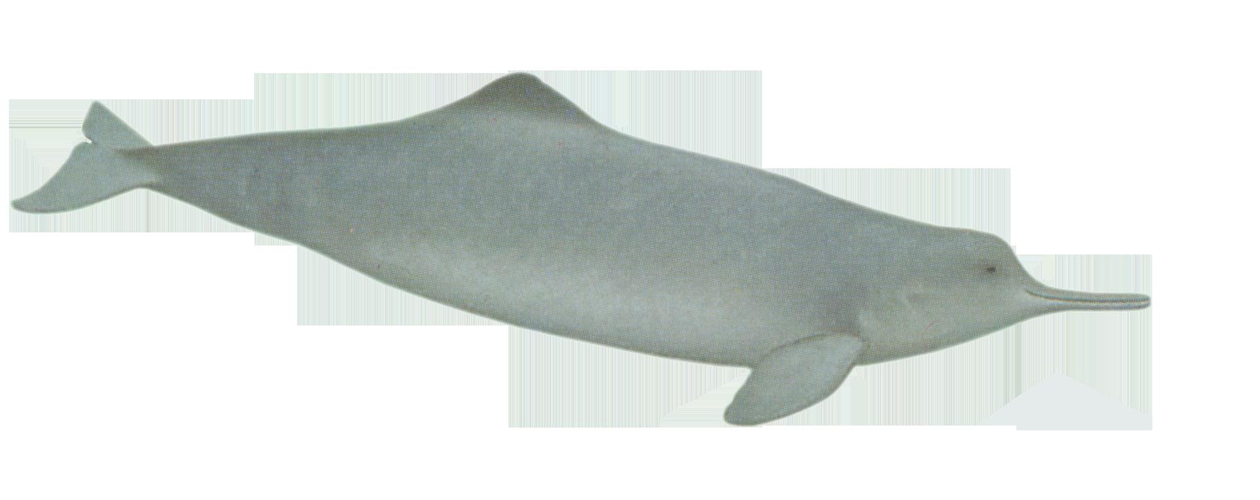 Clipart whale porpoise. Baiji dolphin