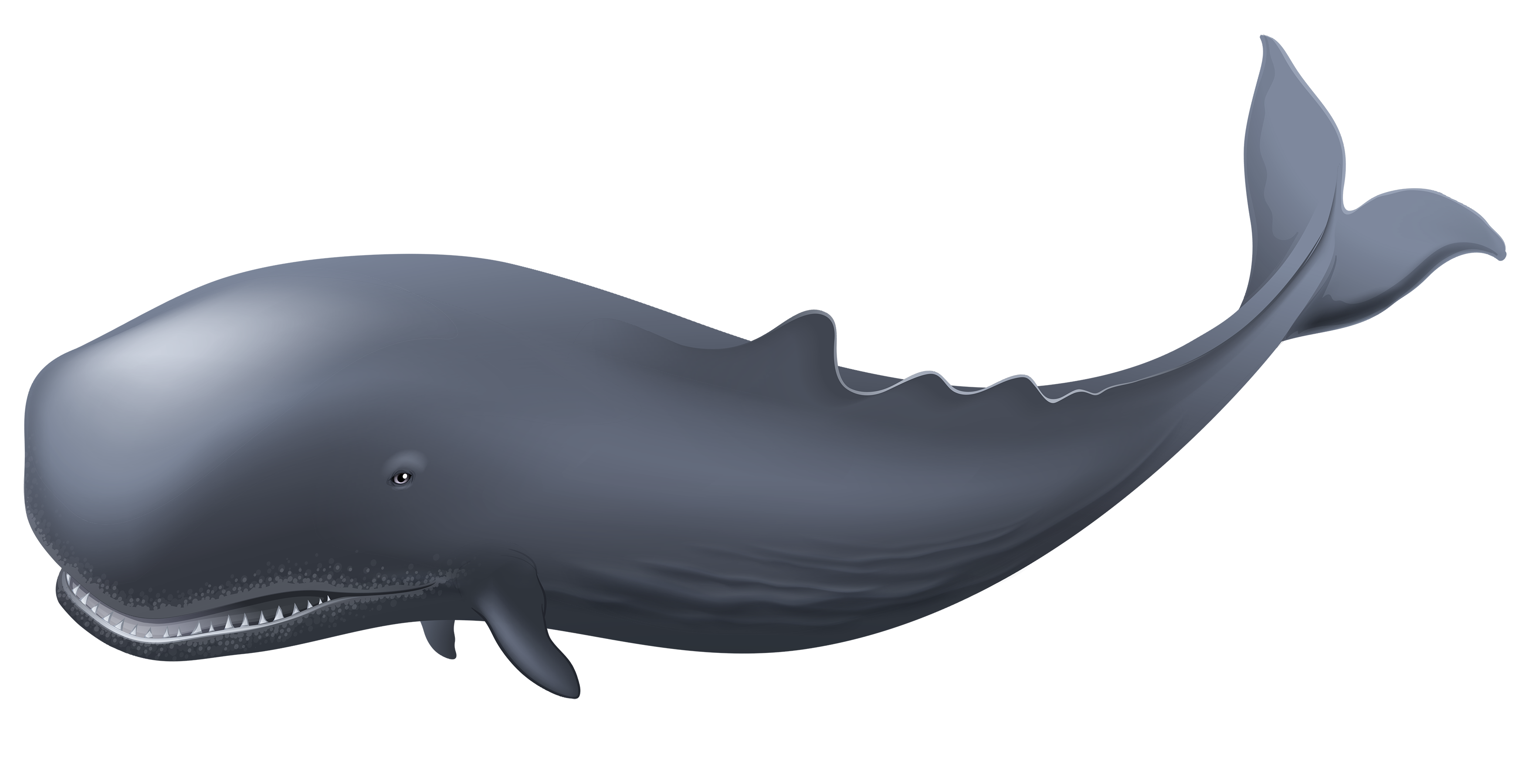 Whale png best web. Dolphin clipart underwater