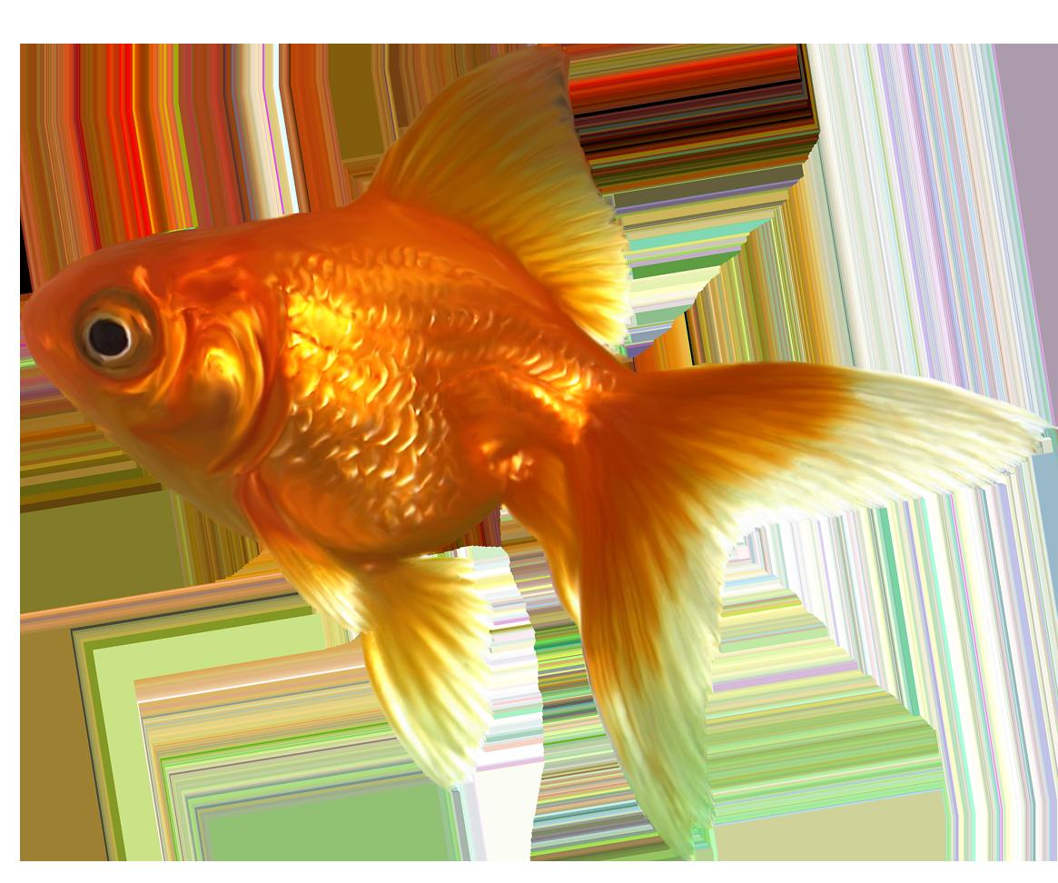 Realistic png best web. Goldfish clipart file