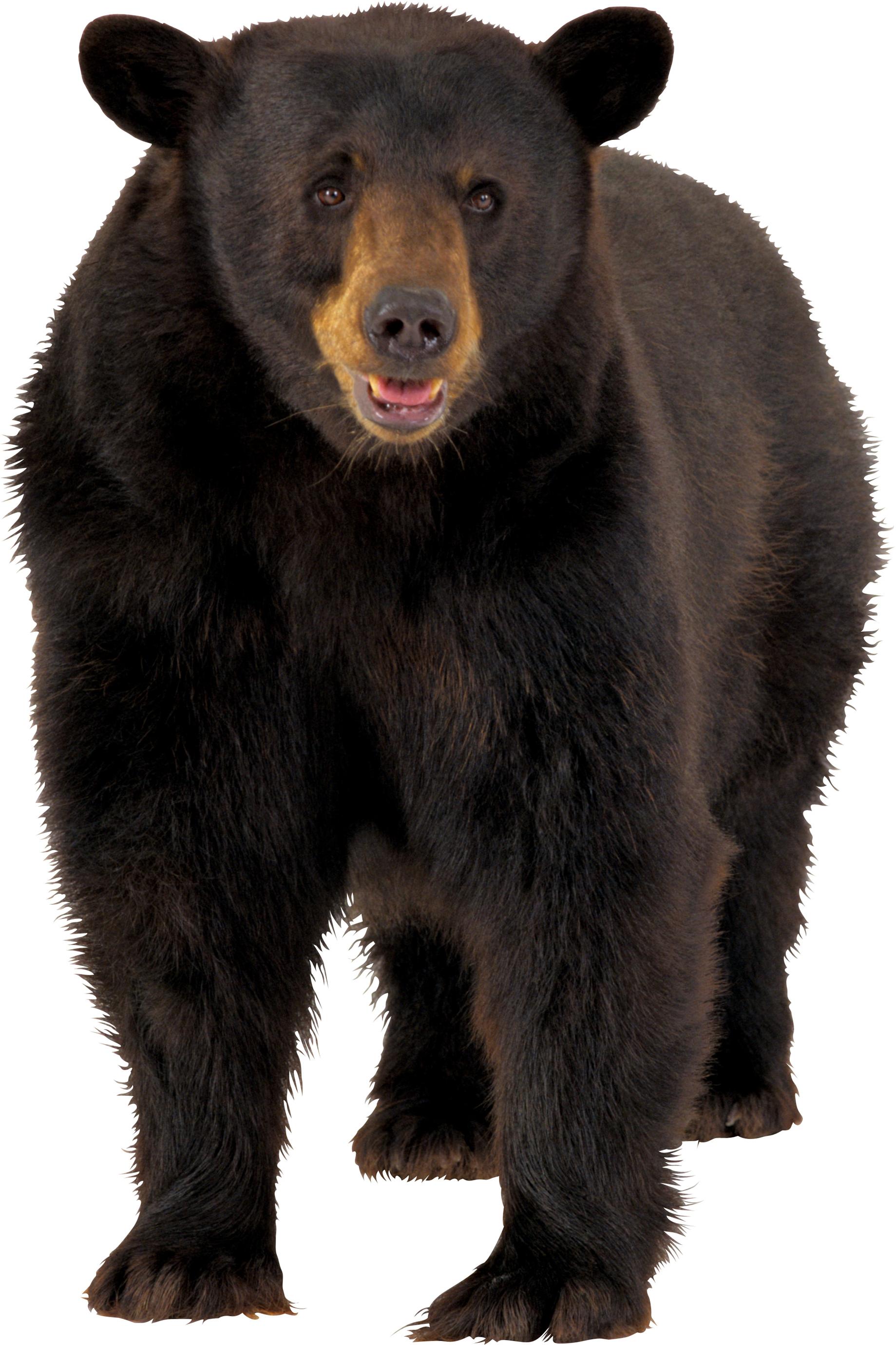 Png transparent background recherche. Ducks clipart brown bear