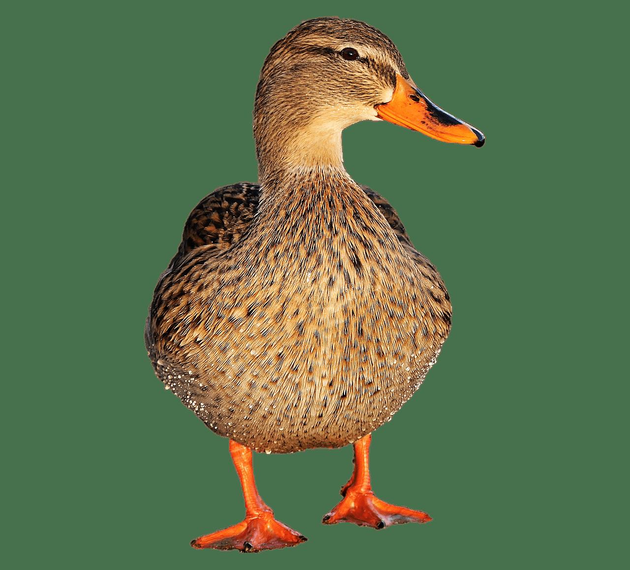 Female transparent png stickpng. Clipart water mallard duck
