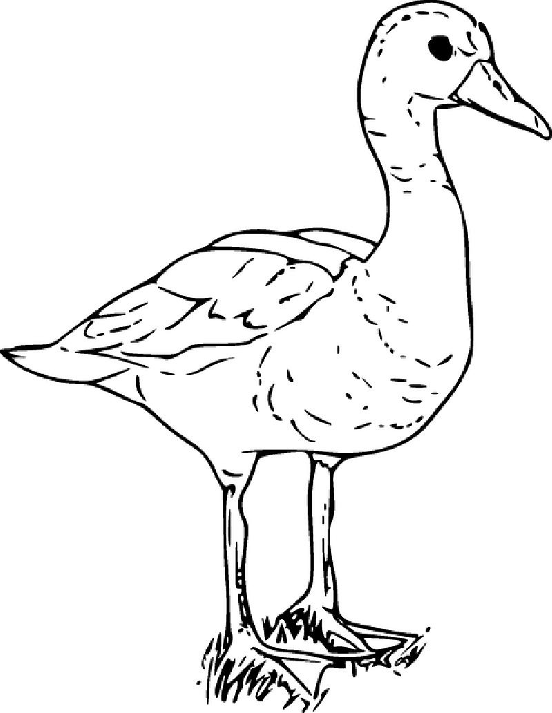 Ducks clipart gambar. Cartoon duck drawing at