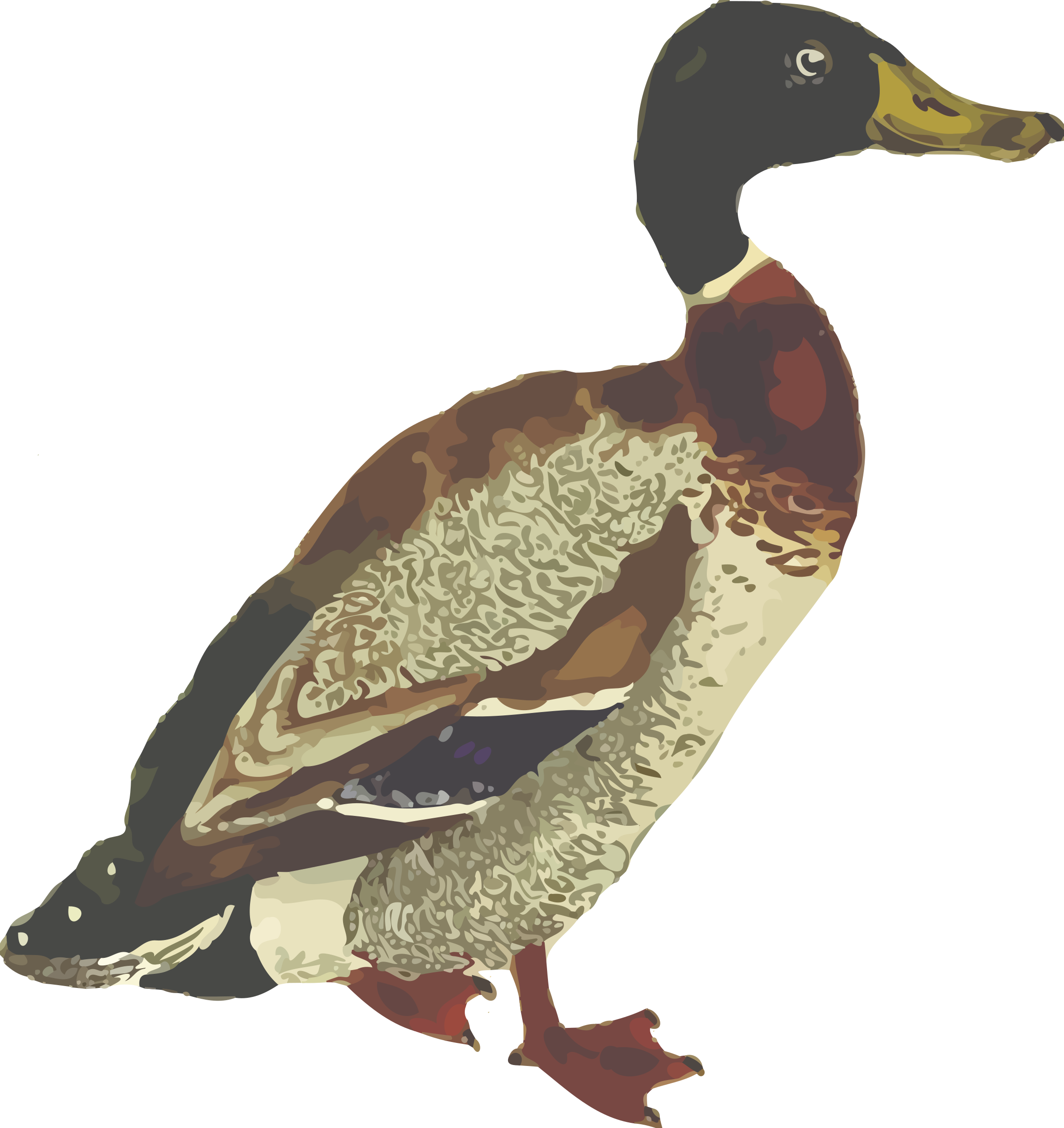 Clipart water mallard duck. Isolated big image png