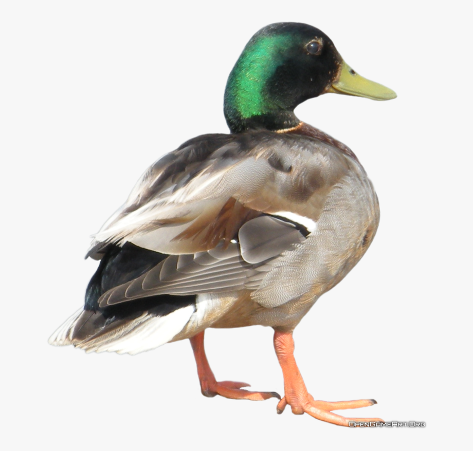 Ducks clipart real duck. Transparent background
