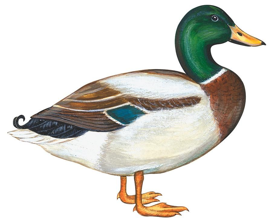 Clipart duck realistic. Mallard drawing art