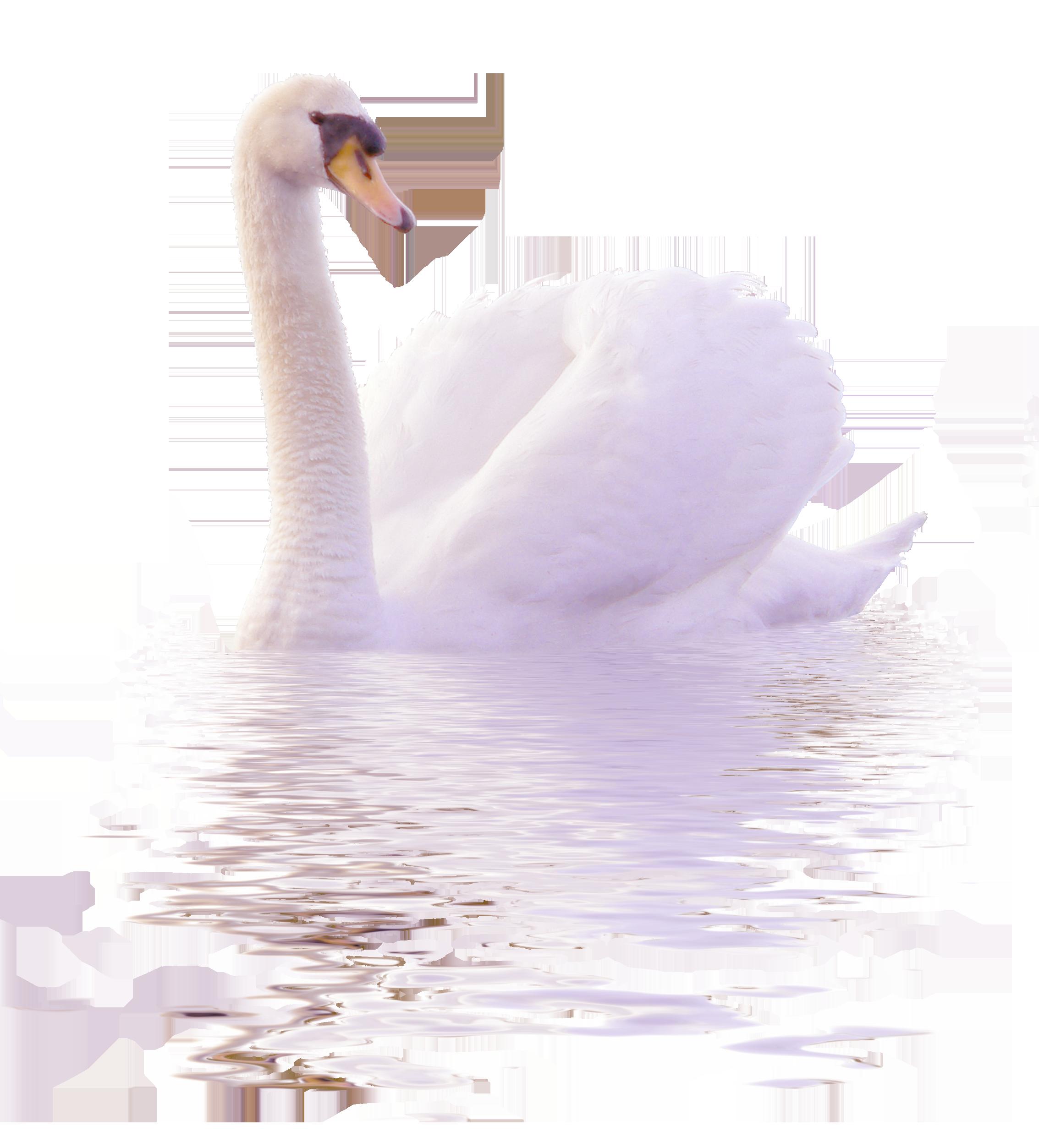 Clipart swimming swan. Cygnini duck clip art