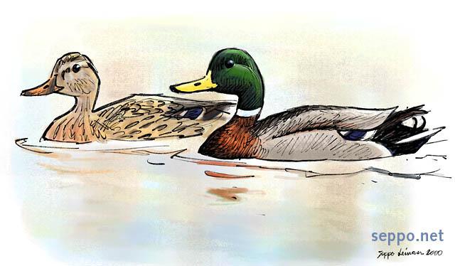 Clipart duck wild duck. Birds mallard male and