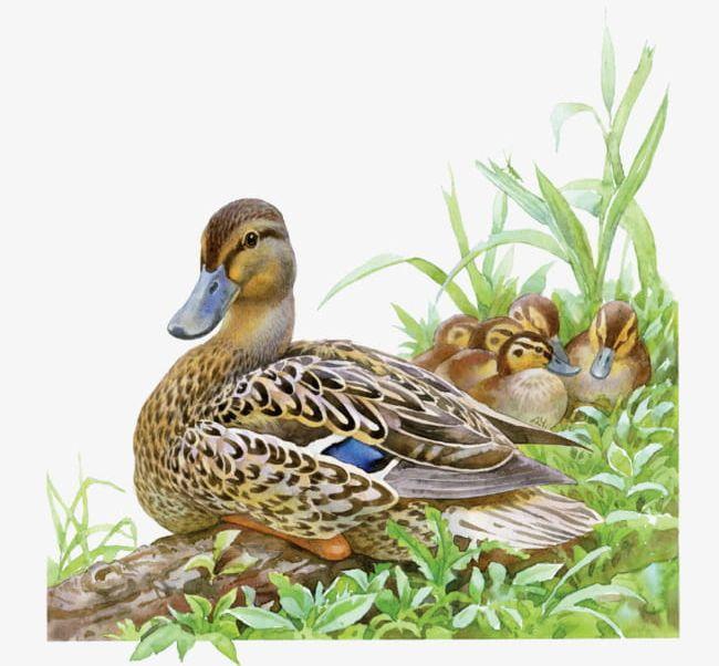 Cartoon family png . Clipart duck wild duck