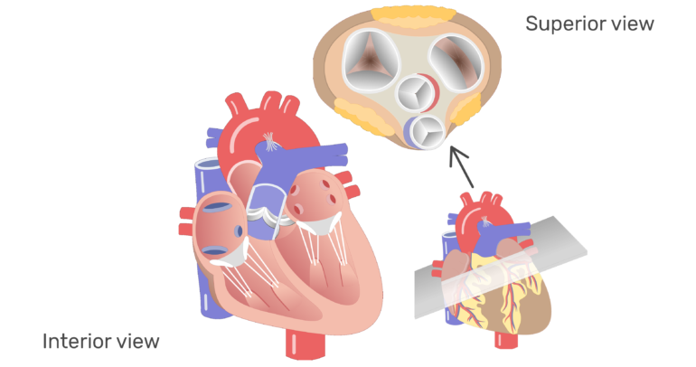 Ears clipart anatomy. Heart valves and function