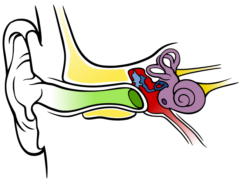 Ears clipart anatomy. Datoteca of the human