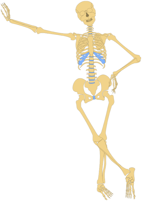 Skeleton leaning png. Ears clipart anatomy