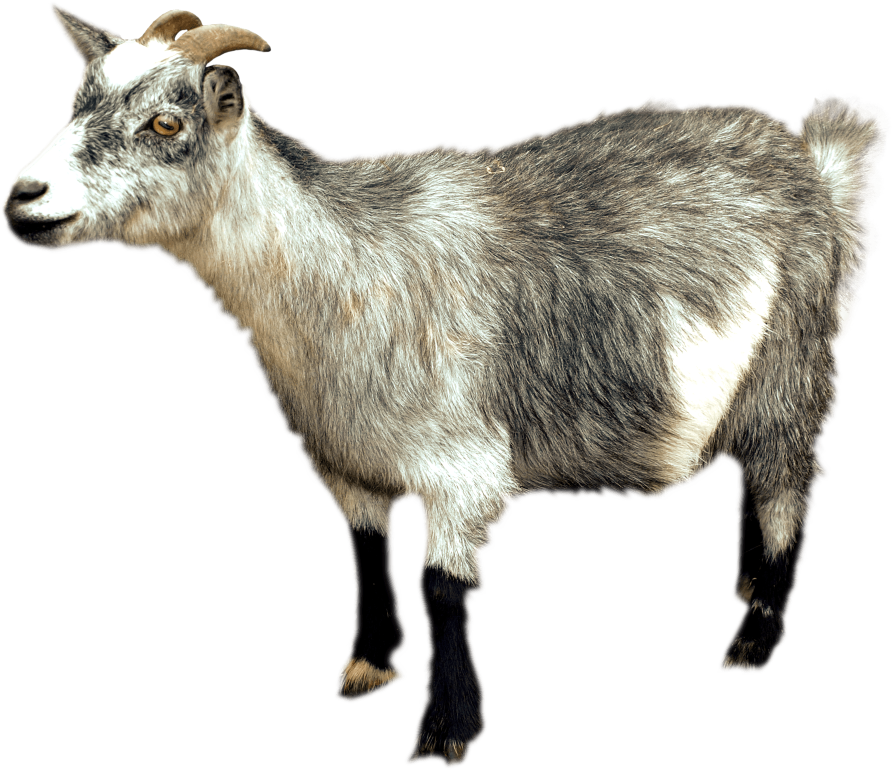 Sideview transparent png stickpng. Goat clipart female goat