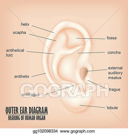 Clipart ear outer ear. Vector illustration diagram hearing