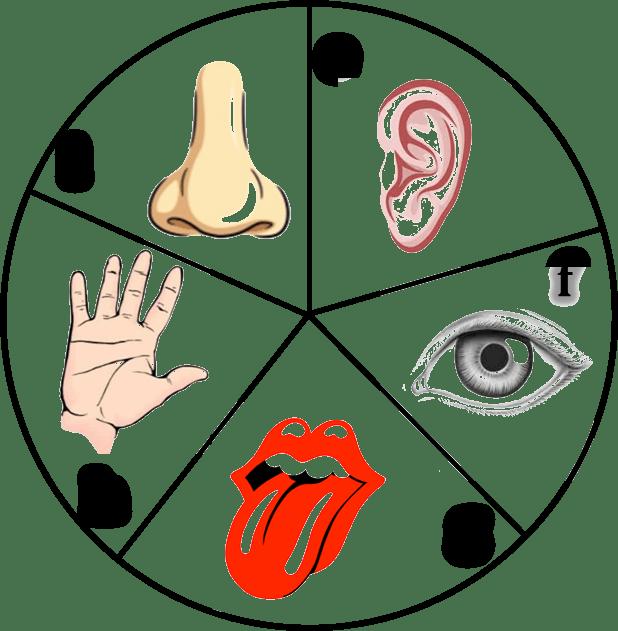 Sense organs png transparent. Taste clipart tactile learning