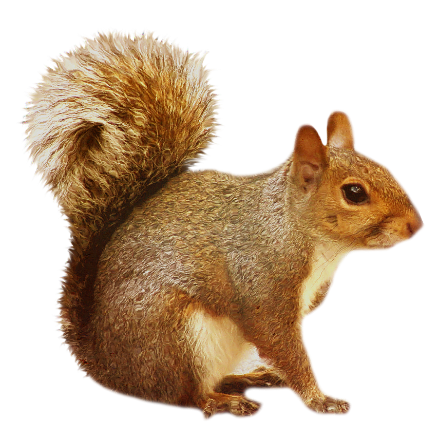 Transparent brown. Clipart ear squirrel