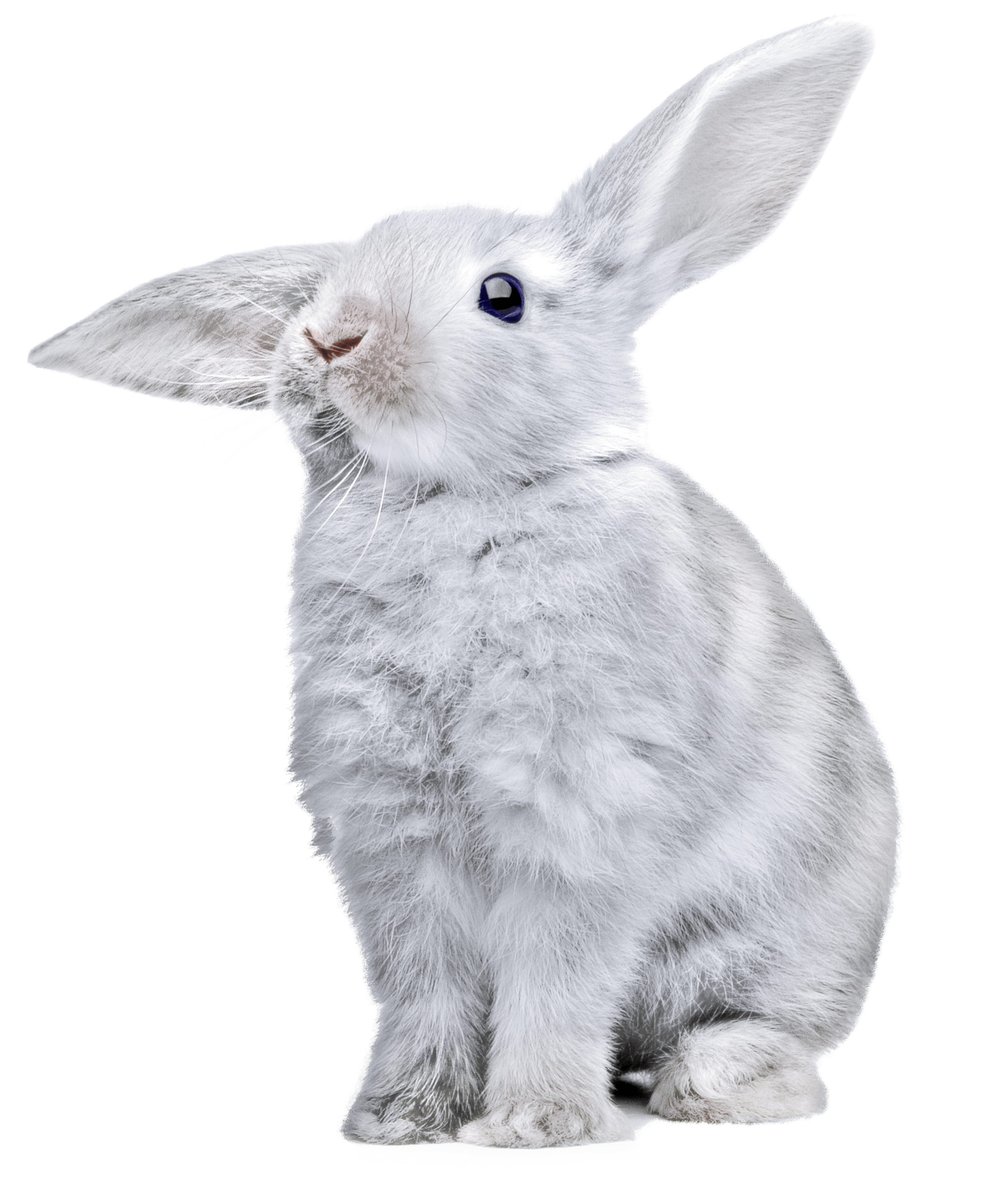 With huge png image. Ears clipart white rabbit
