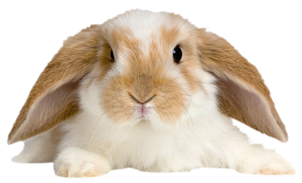 Clipart ear white rabbit. Cute transparent png picture