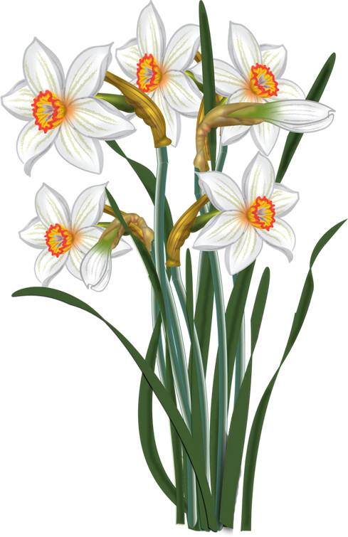Flowers vector narcissus malowanki. Clipart easter daffodil