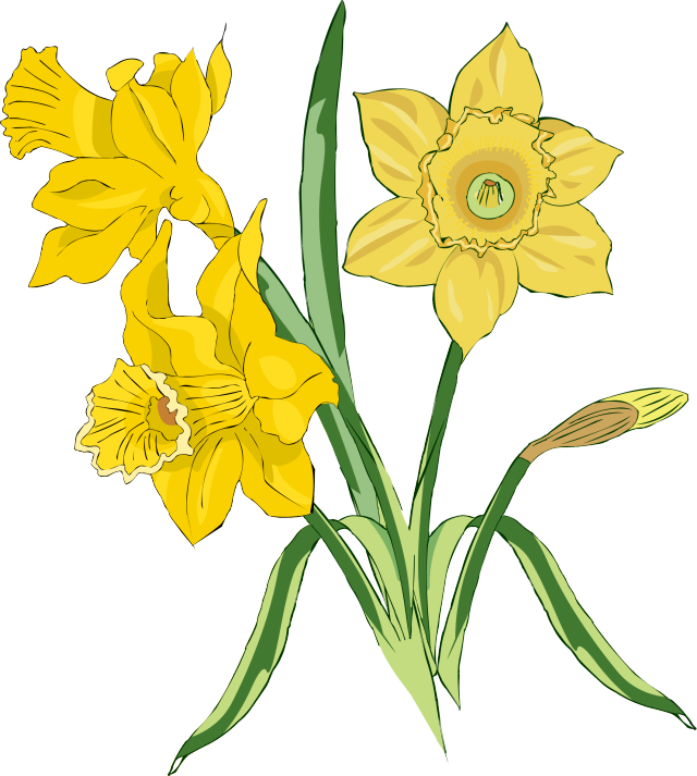 Clipart easter daffodil. Yellow clip art real