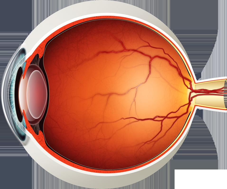 Eyeball clipart eye surgery. Diagram of the lions