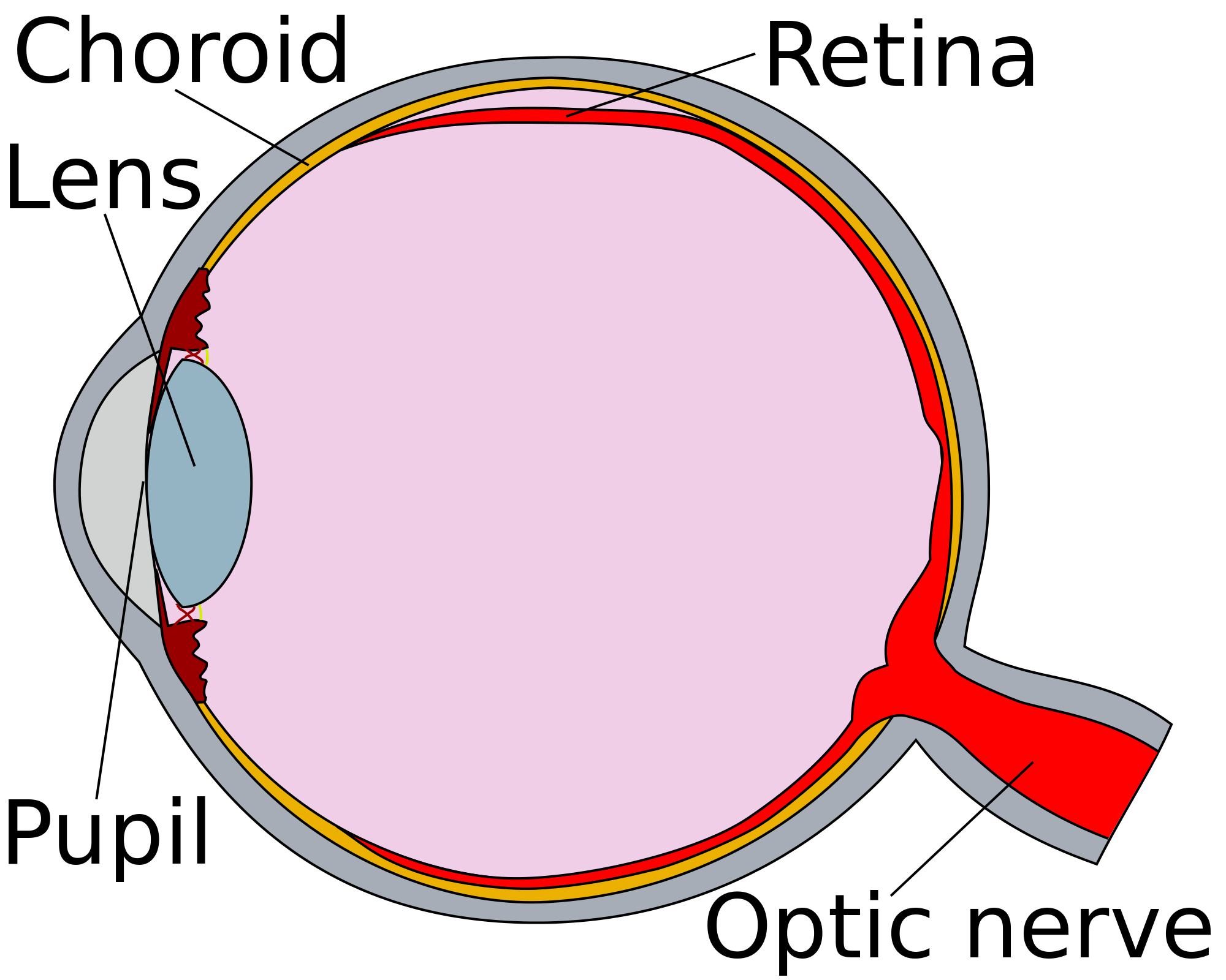 Eye clipart human eye. File cross section detached
