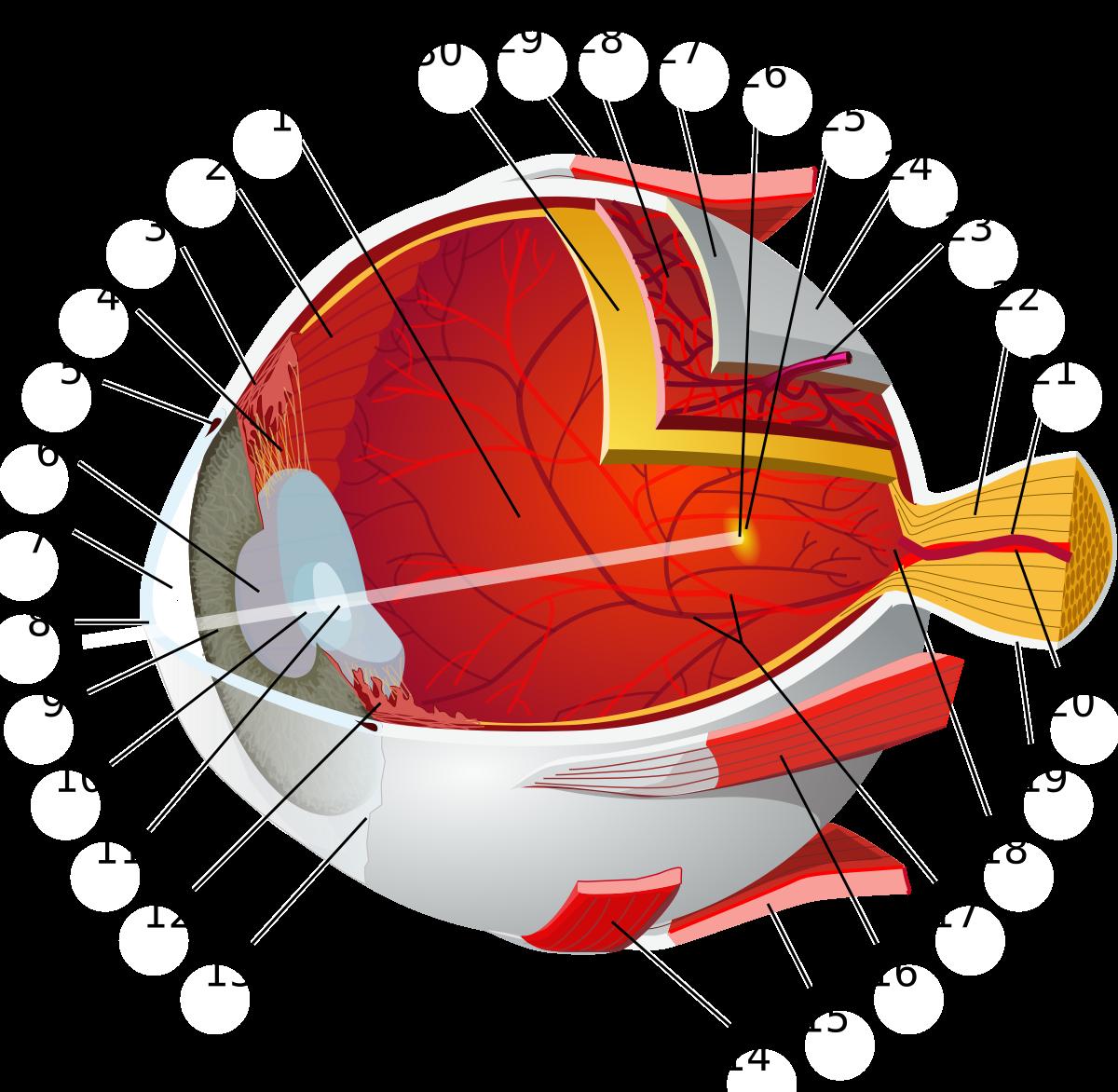 Human wikipedia . Eyeball clipart eye surgery