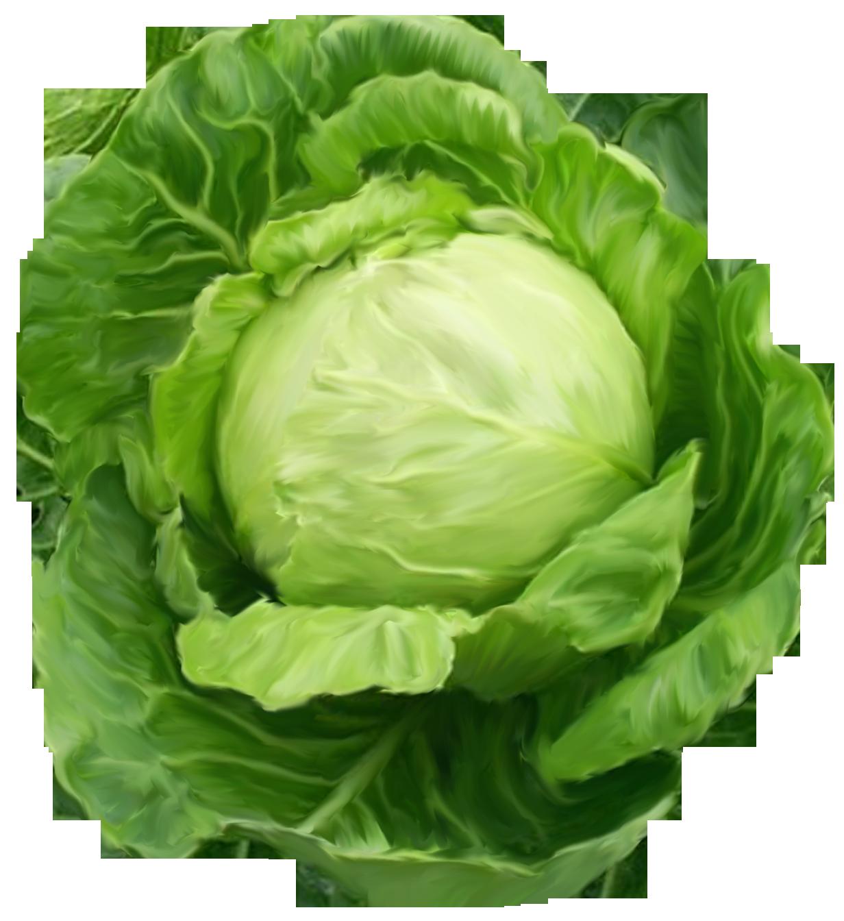 Lettuce clipart green ...