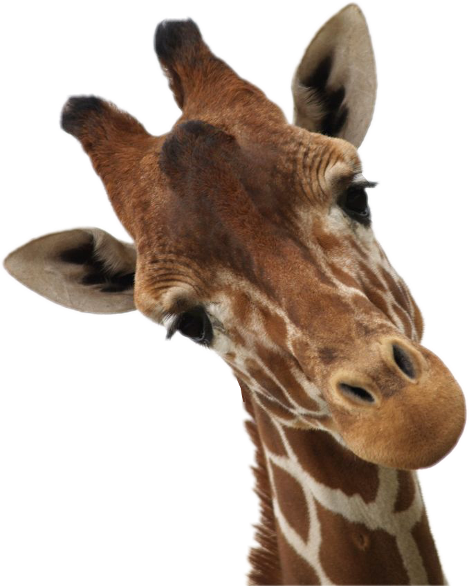 Giraffe clipart terrestrial animal. Giraffes sticker africa animals