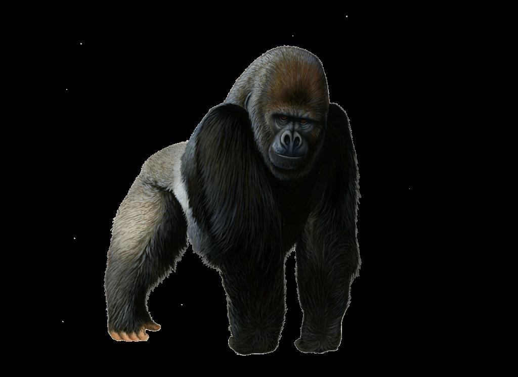 Eye clipart gorilla. Png photos peoplepng com