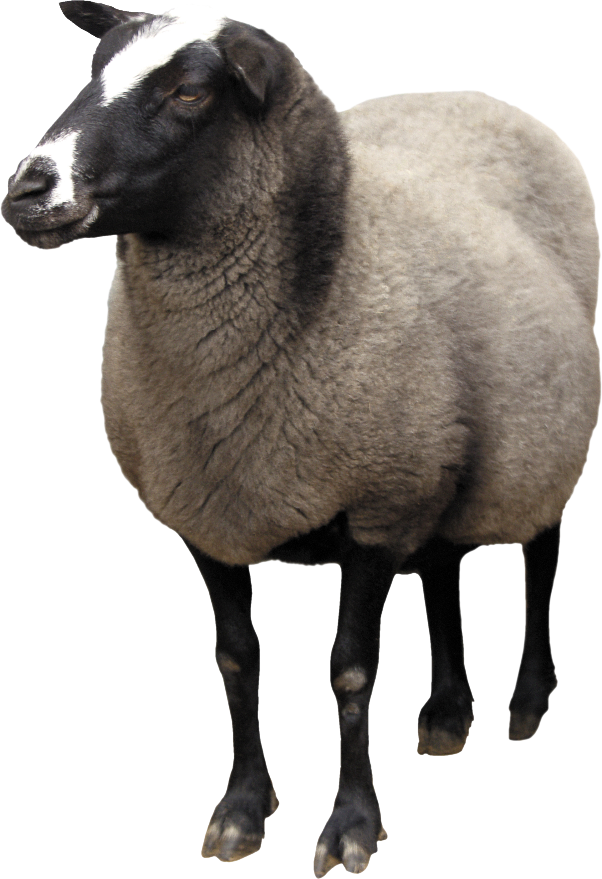 Nine isolated stock photo. Lamb clipart dolly sheep