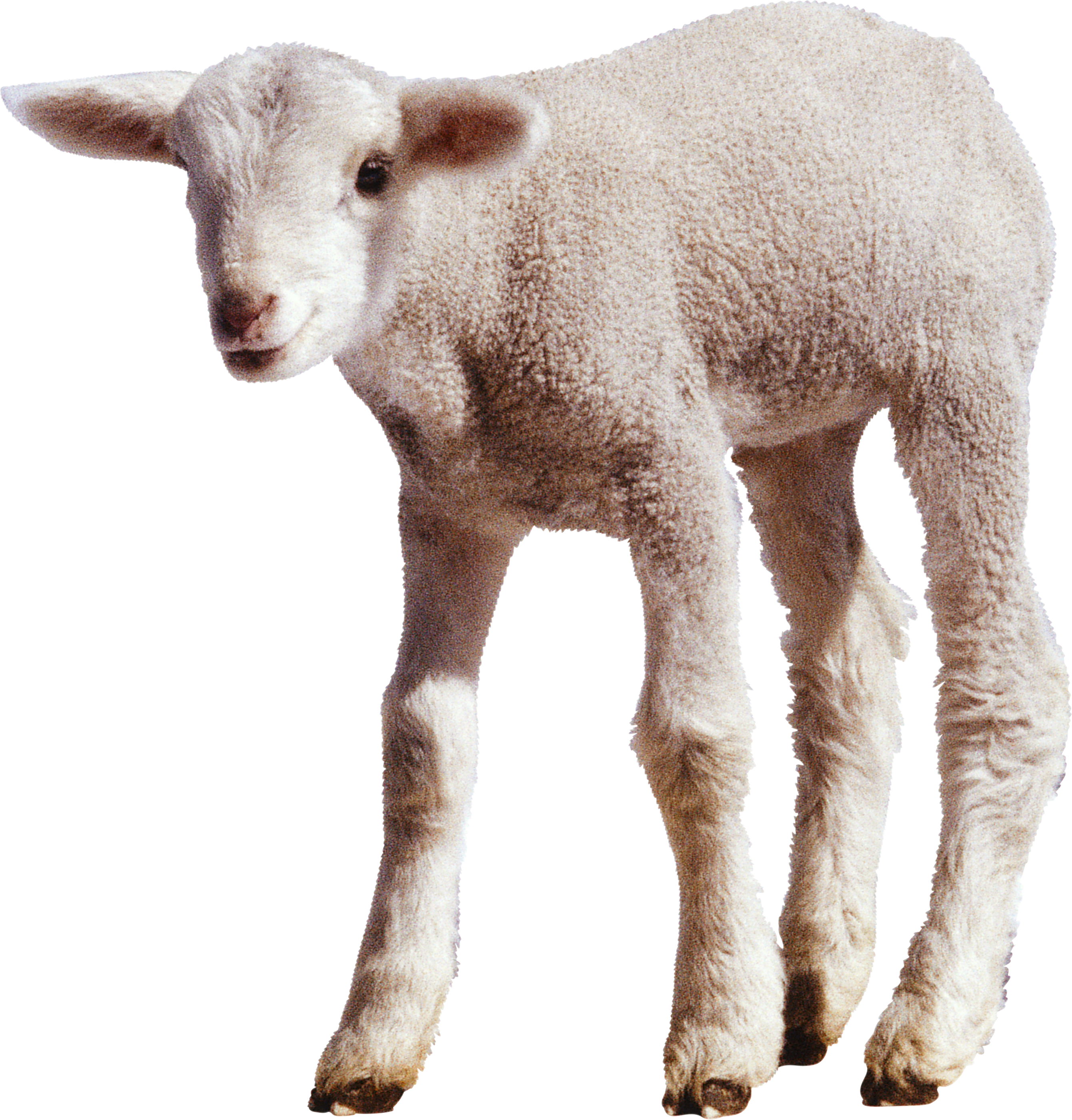 Lamb clipart dolly sheep. Nineteen isolated stock photo