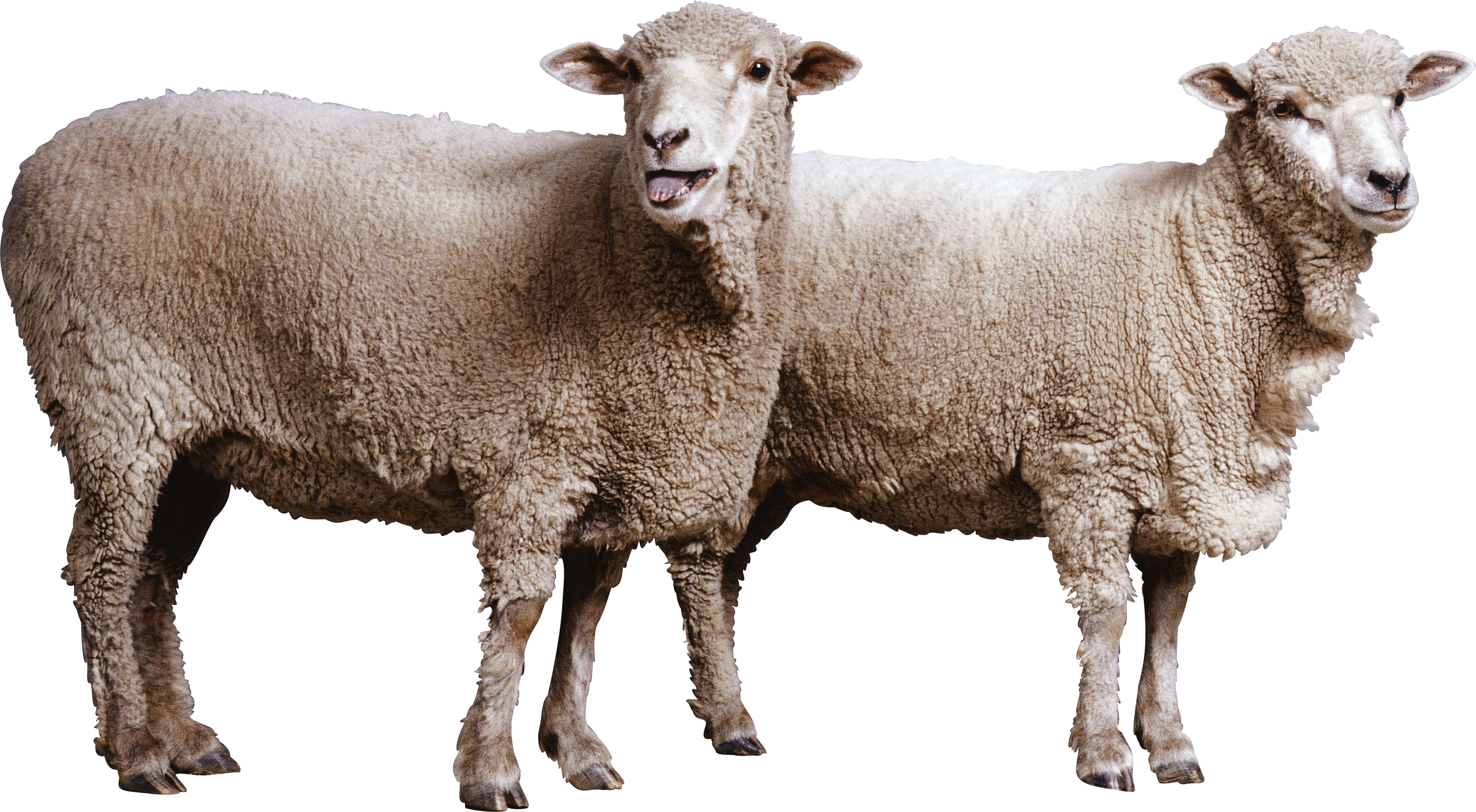Lamb clipart vertebrate. Two white sheep isolated
