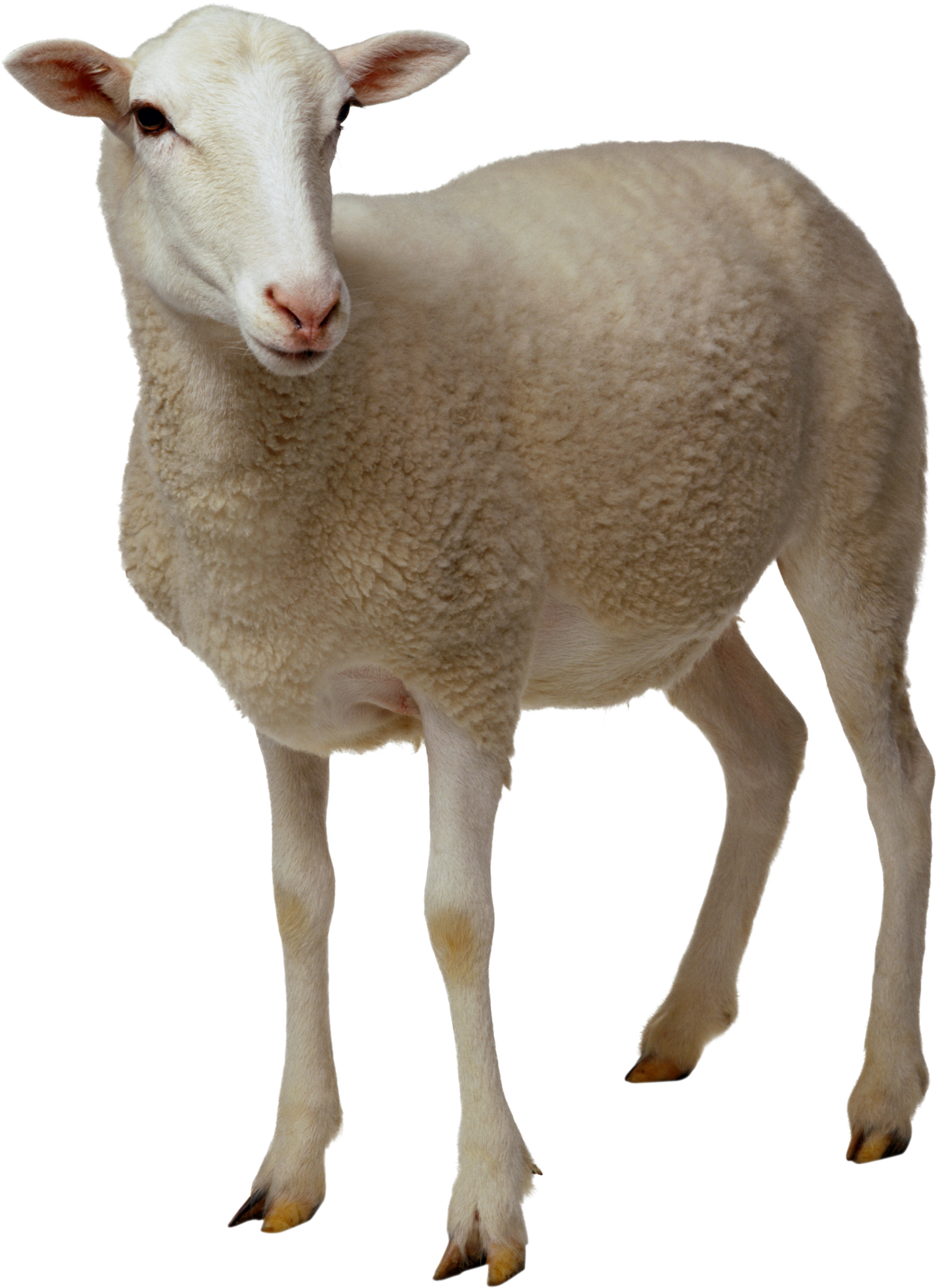 Clipart eyes sheep. Two isolated stock photo