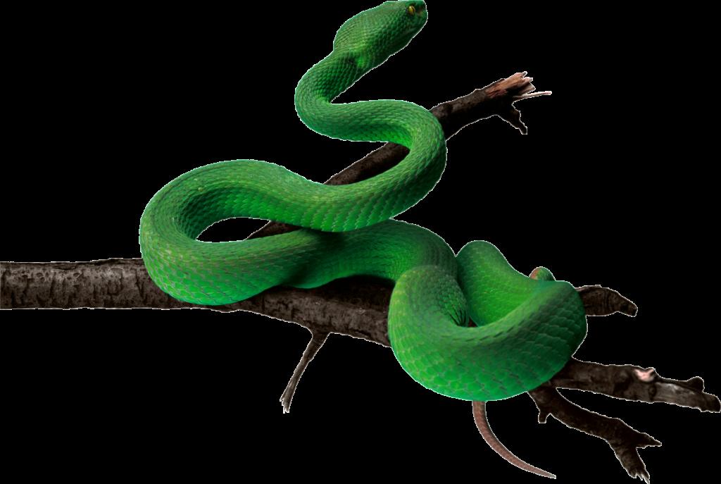 Png pic peoplepng com. Snake clipart anaconda