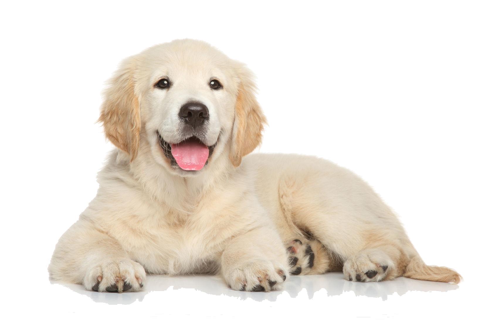 Clipart Puppy Golden Retriever Clipart Puppy Golden Retriever Transparent Free For Download On Webstockreview 2020