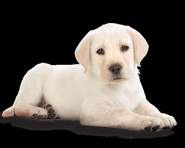 Png photos . Clipart puppy golden retriever