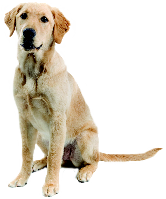 Dog png images rendering. Pet clipart golden retriever puppy