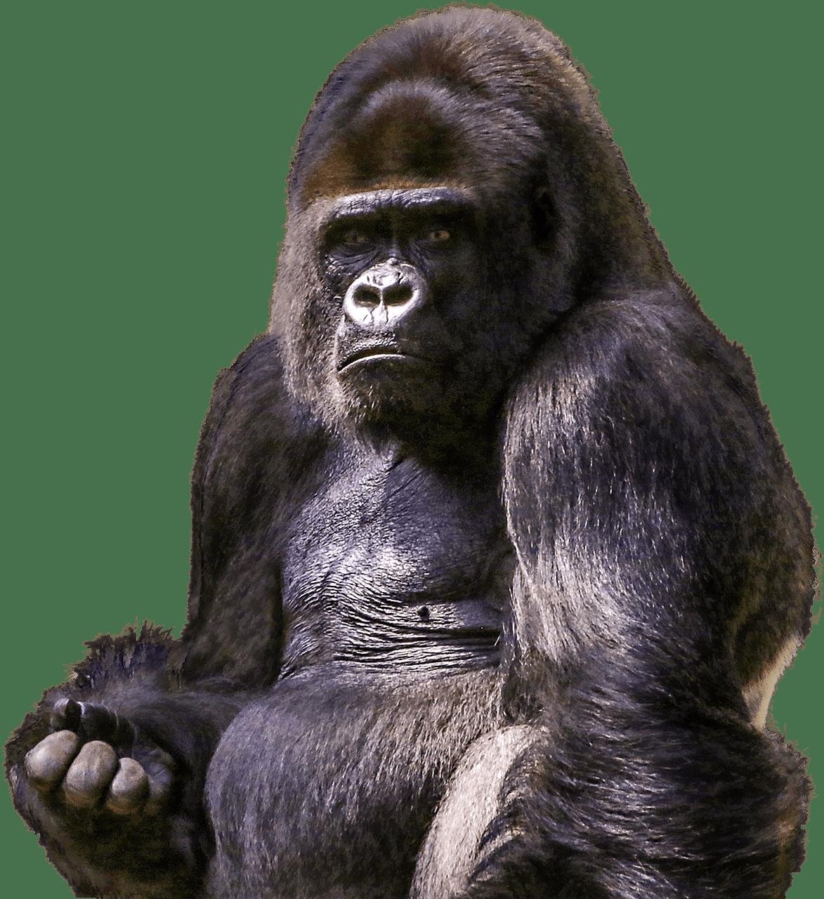 Sitting transparent png stickpng. Clipart face gorilla