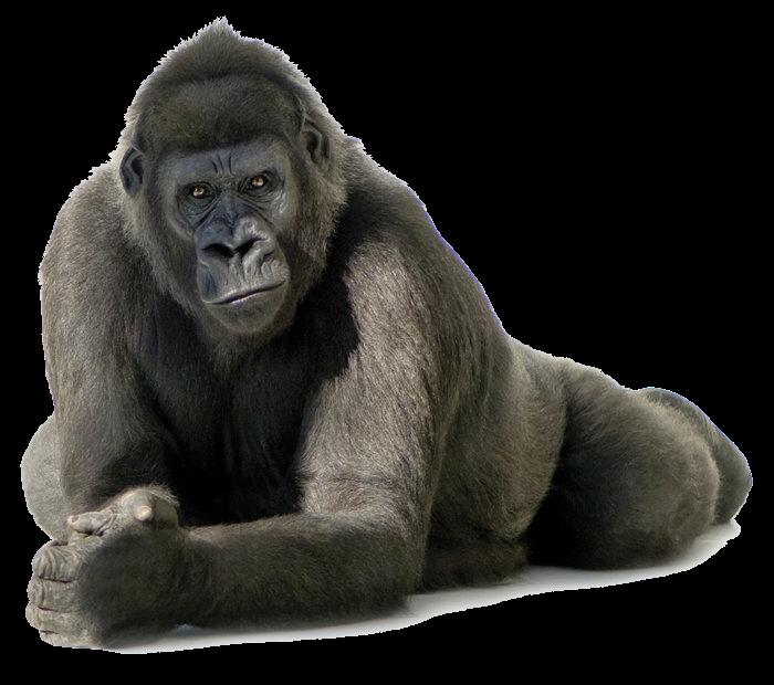 Clipart face gorilla. Sticker by silver bullet