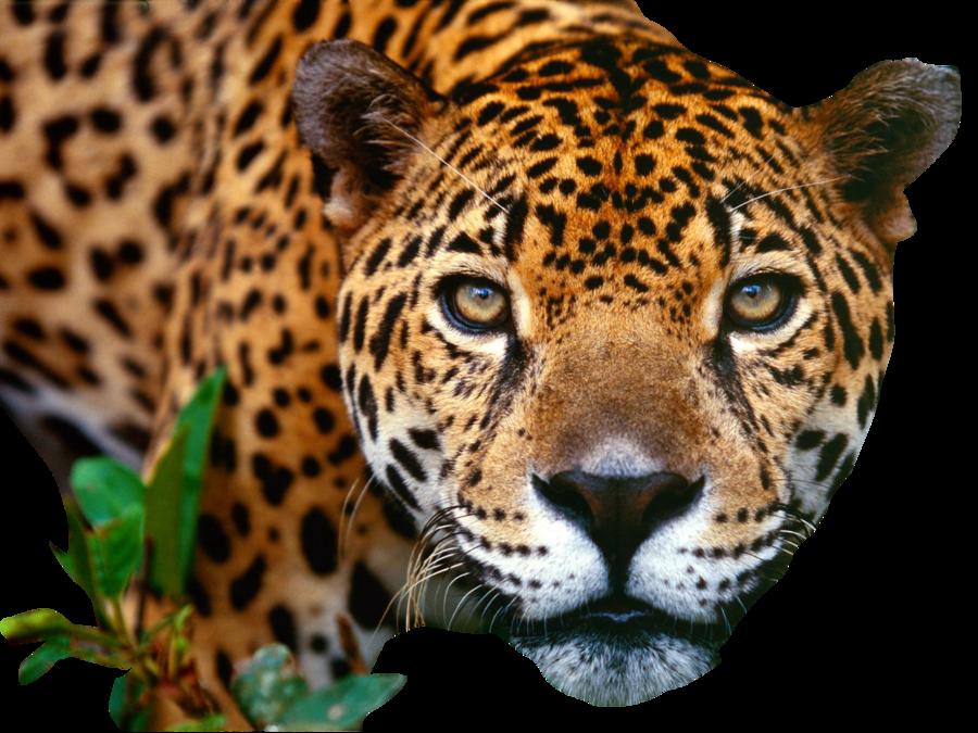Jaguar clipart mammal animal. Png web icons download